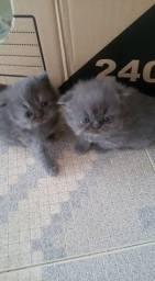 Persa lindos gatinhos disponível !