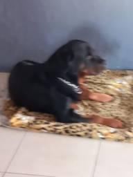 Cão padreador