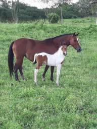 Égua, potros, cavalo
