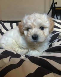 Poodle toy - filhote