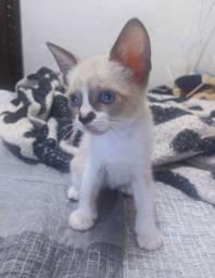 Gato filhote adoção
