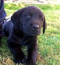 Filhotes Lindos e Espertos de Labrador pretos