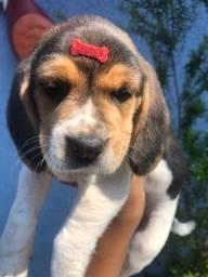 Beagle filhote porte pequeno com pedigree e vacina importada