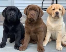 Labrador - fofos