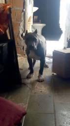 PiT monster , pit bull