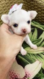 Chihuahua. Maravilhosos filhotes!!!