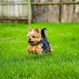 Yorkshire terrier lindos filhotes