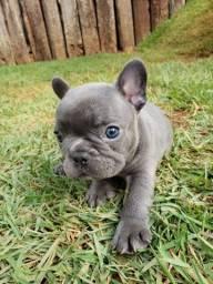 Bulldog frances macho blue