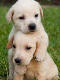Labrador filhotes macho e femea