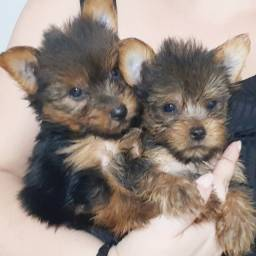 Filhotes de Yorkshire Terrier Pedigree Garantia de saúde