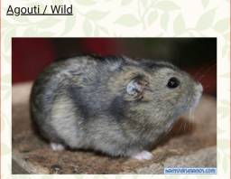 Hamster Anão Russo Agouti