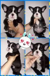 Bulldog Francês Macho- BLUE GEN