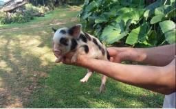 Filhotes de porcos para doação