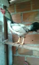 Vendo 3 frangos da raça Nanicao (obss nao sao garnizes )