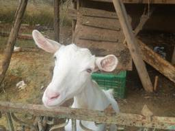 Cabras Saanem