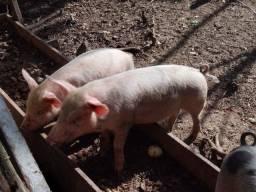 Porcos ladrass