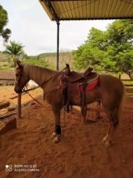 Cavalo QM registrado
