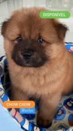 Chow Chow macho de Excelente padrão - Rei Dog Filhotes