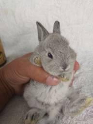 Mini coelho netherland Dwarf