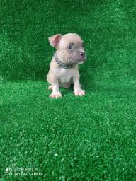 American bully disponivel