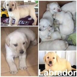 Labrador com pedigree e microchip em ate 18x