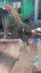 Vendo 2 frangos indios