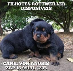 Filhotes de Rottweiler com pedigree