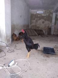 Frango indiano preto, 2,100kg