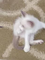 Adoação de gatinhos