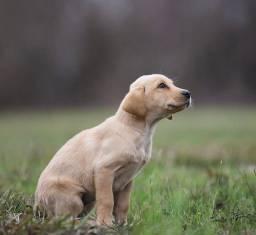 Lindos Labradores a Pronta Entrega