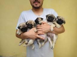 Filhotes de Pug Abricot.