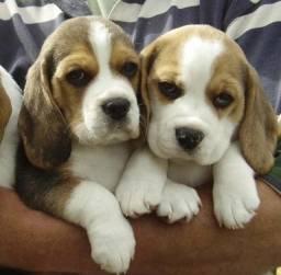 13 Polegadas! Beagle Filhote com Pedigree e Garantia de Saúde