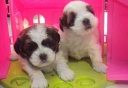 Lhasa Apso Pets Amigos Machos