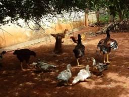 Patos novos...13.00 ..reais cada