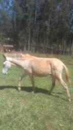 2 burros pampas e uma mula ,todos com 1 ano e 2 meses