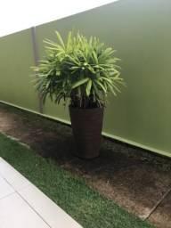Estou vendendo esta planta com a caqueirada