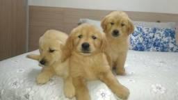 Lindos filhotes Golden Retrivier