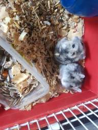 Filhotes de hamster anão-russo