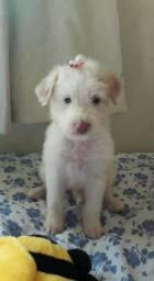 Vendo linda Poodle