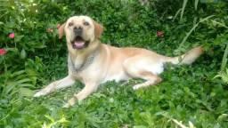 Doação Labrador