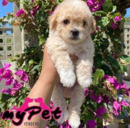 Poodle machinho com pedigree! Parcelamos