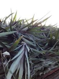 Muda de abacaxi pérola