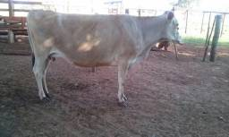 Vaca e novilha jersey