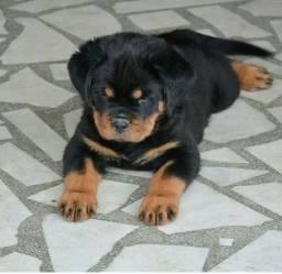Rottweiler Alêmão grandão