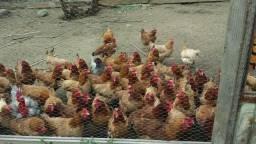 Lote de 82 galinhas poedeiras