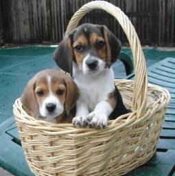 Vendo lindos filhotes de Beagle