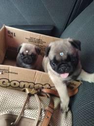 Vendo filhotes de Pug
