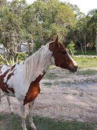 Cavalo Manga larga paulista registrado e homozigoto