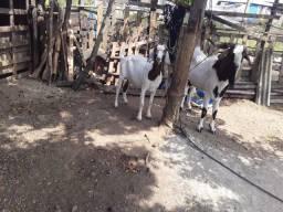 Casal de cabra