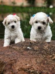 lindos bebês poodle disponível..pai micro toy mãe tamanho padrão.
